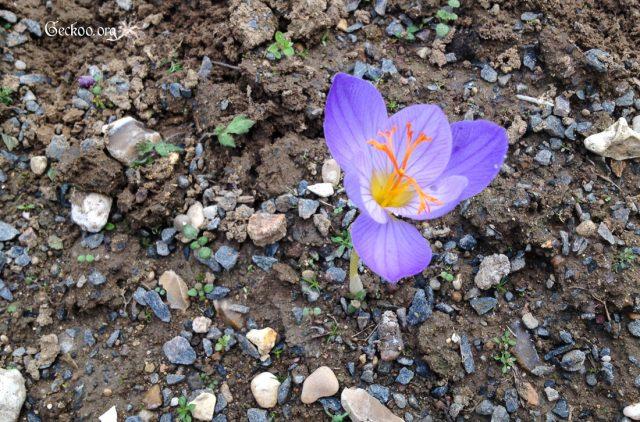 L'herbier des monocotylédones, des bulbes en fleurs et de grandes herbes (4/4)