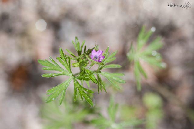 L'herbier, la finesse des Rosidées (2/4)