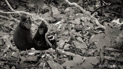 Le regard des singes indonésiens