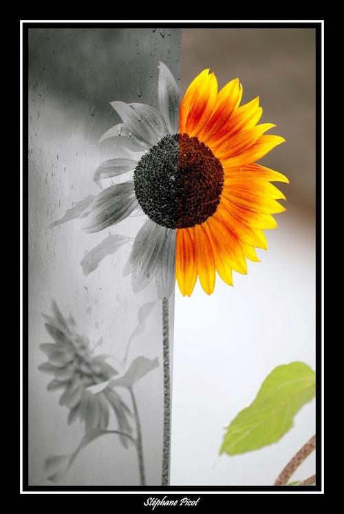 fleur noir et blanc / couleurs
