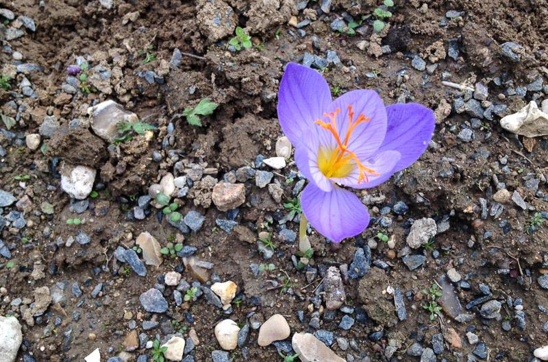 Une fleur sortant de terre, un crocus serotinus
