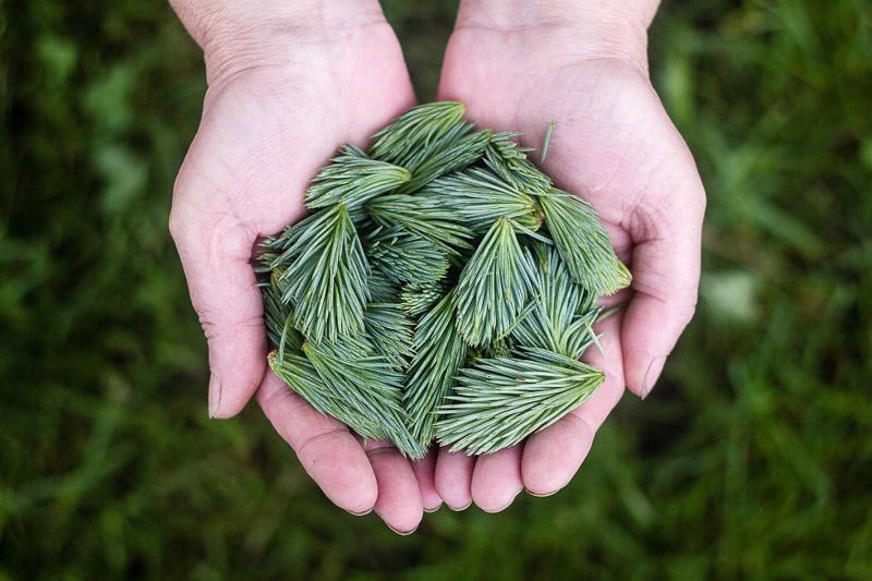 feuilles de pin dans les mains