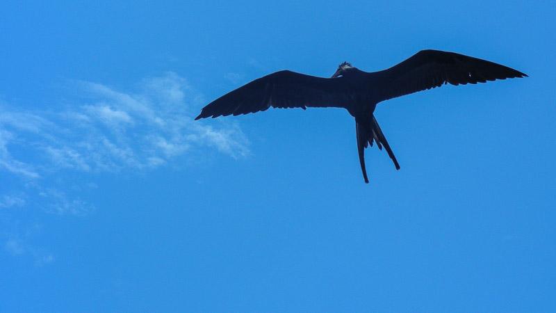 Grand oiseau, une frégate, planant dans le ciel en observation
