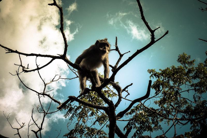 singe indonésien