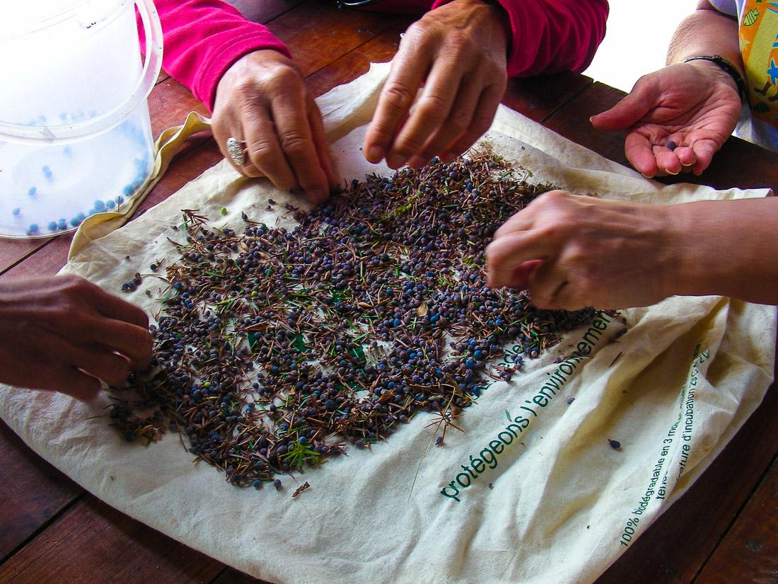 gros plan sur les mains de personnes en train de préparer des fruits de genévrier