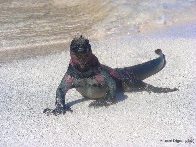Iguane marin des Galapagos - Amblyrhynchus cristatus
