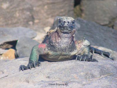 Les grands reptiles : les Iguanes marins et terrestres des Galapagos