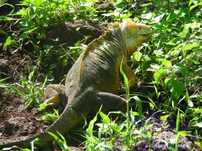 Iguane terrestre des Galapagos jaune - genre Conolophus