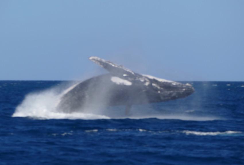 Baleine sautant hors de l'eau