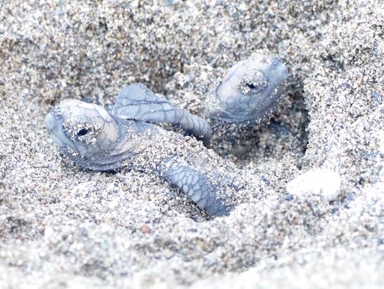 Naissance de deux bébés tortues dans le sable