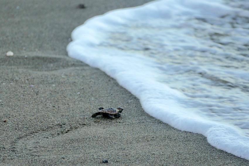 Bébé tortue sur la plage courant vers la mer