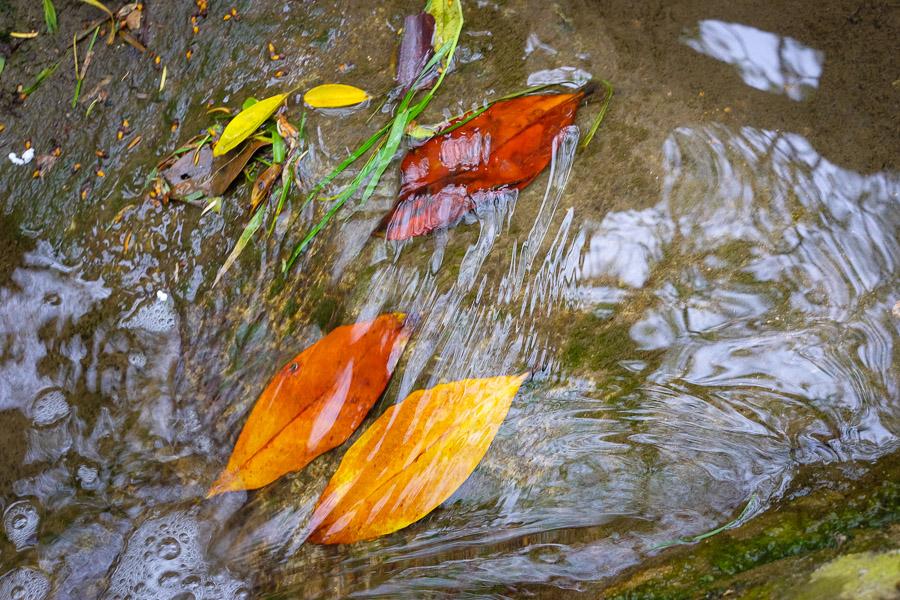 Feuilles colorées dans un ruisseau, tableau naturel parfait et pourtant si imparfait