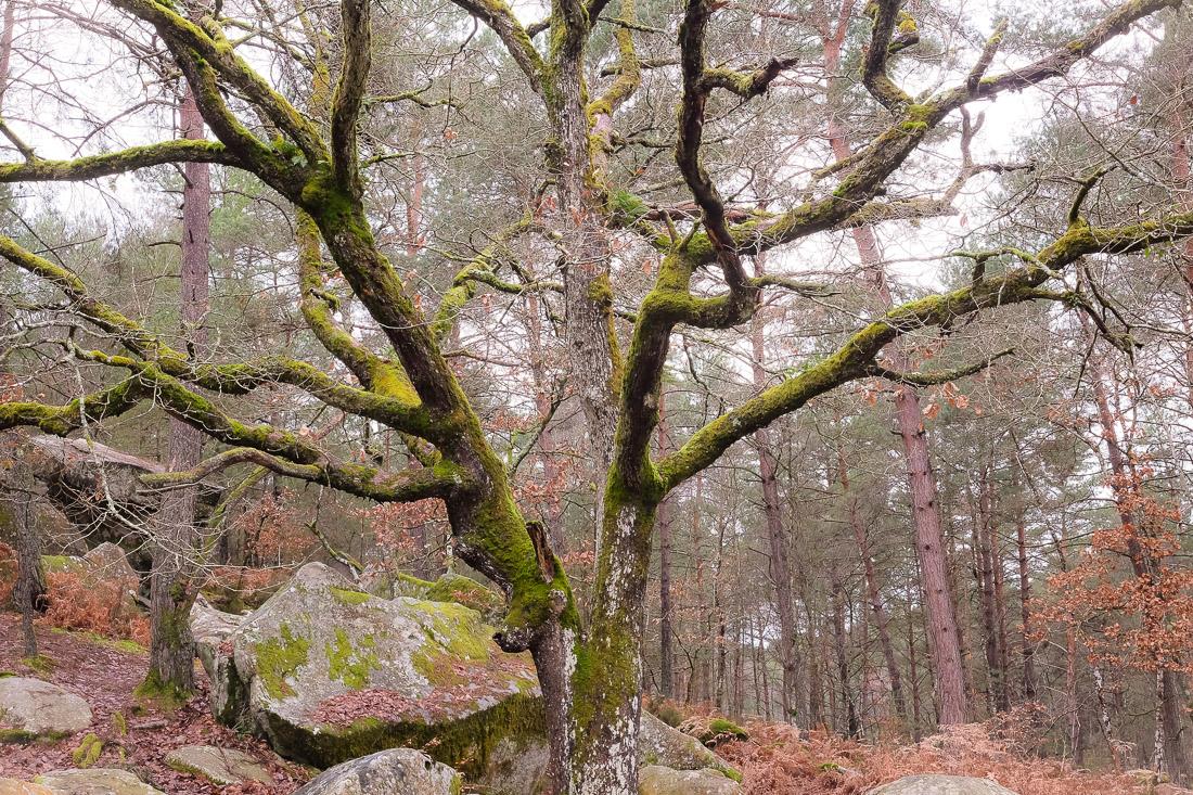 Arbre magique de la forêt de Fontainebleau