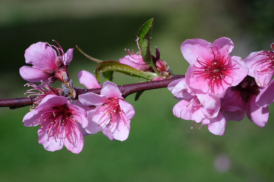 fleurs de prunier - Prunus