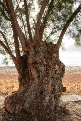 Arbre Tamaris - Aighiali - Amorgos - Crèce