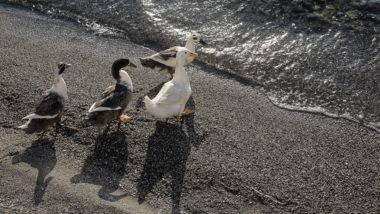 Une famille d'oies - Amorgos