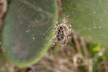Araignée à Tholoria - Amorgos - Grèce