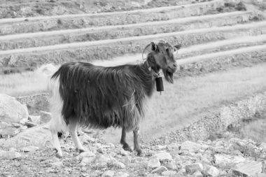 Portrait de chèvre d'Amorgos - Cyclades - Grèce
