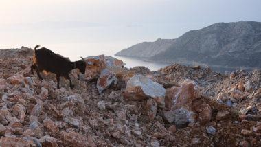 Paysage d'Amorgos : l'île de Nikouria et chèvre - Cyclades - Grèce