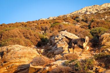 Chèvre des chemins d'Amorgos - Cyclades - Grèce