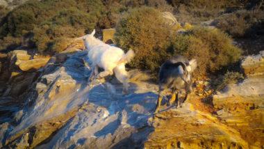 Chèvres d'Amorgos - Cyclades - Grèce