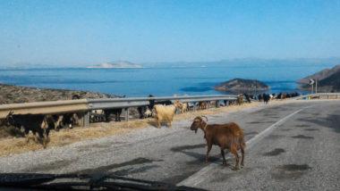 Troupeaux de chèvres d'Amorgos sur la route - Cyclades - Grèce