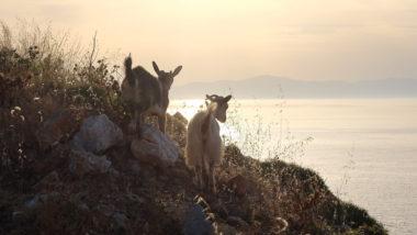 Chèvre d'Amorgos contrejour