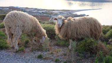 Les moutons d'Amorgos - Cyclades - Grèce