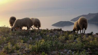 Troupeaux de moutons d'Amorgos sur la route - Cyclades - Grèce