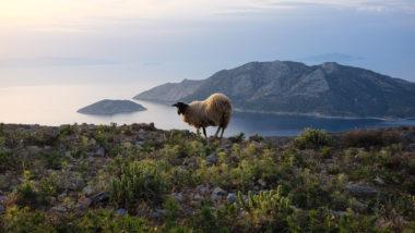 Mouton d'Amorgos face à Nikouria