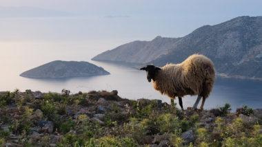 Mouton face à Ikouria - Amorgos - Grèce