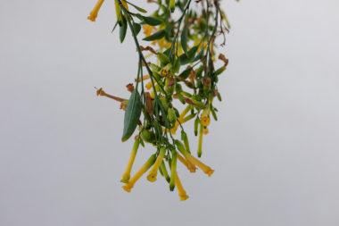 Fleur de Tabac - Tholaria - Amorgos - Grèce