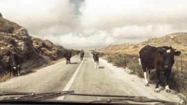 Troupeaux de vaches d'Amorgos sur la route - Cyclades - Grèce