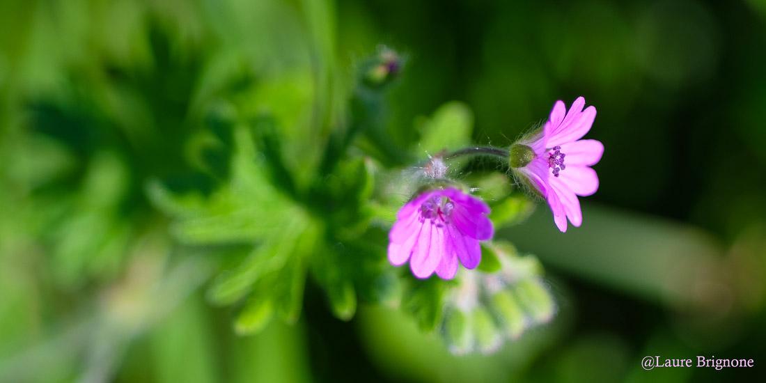 Délicate fleur de Géranium sauvage en éclosion