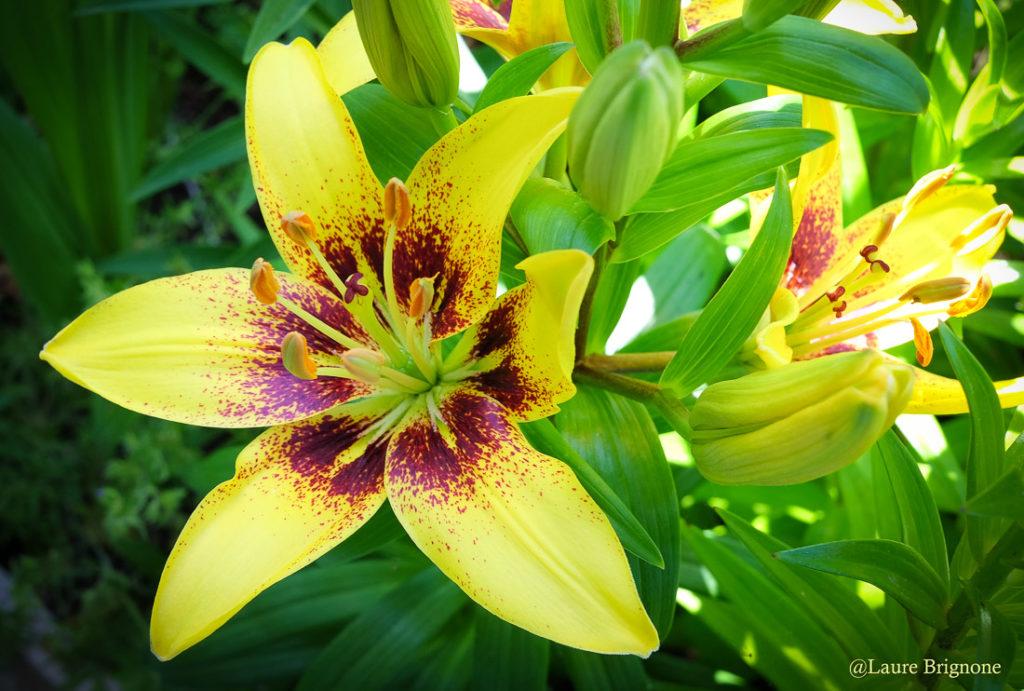 Lys jaune : joie et ouverture pour un épanouissement professionnel