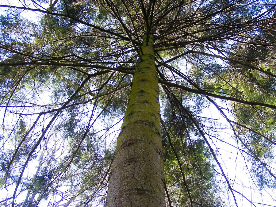 cime d'arbre