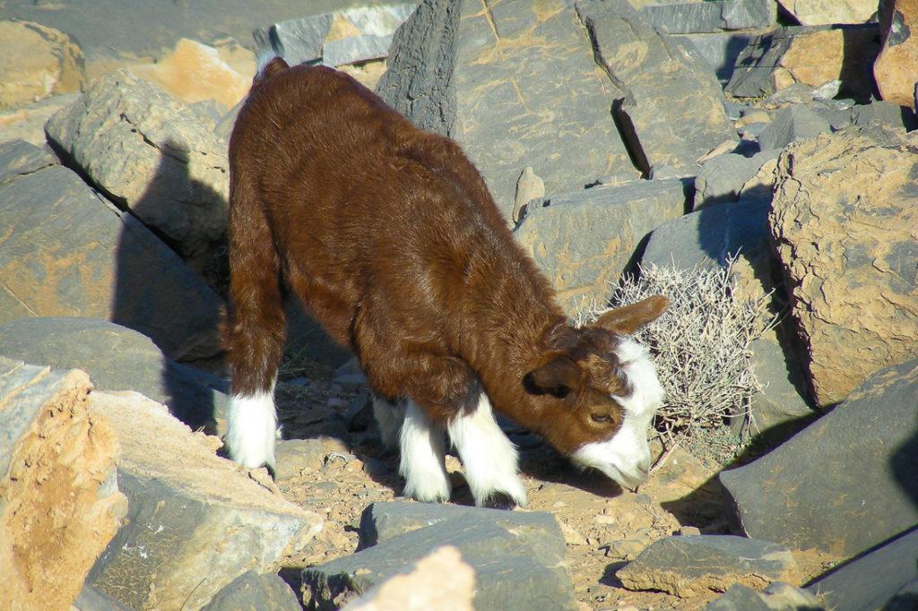 Chèvre d'Oman en contact avec la terre