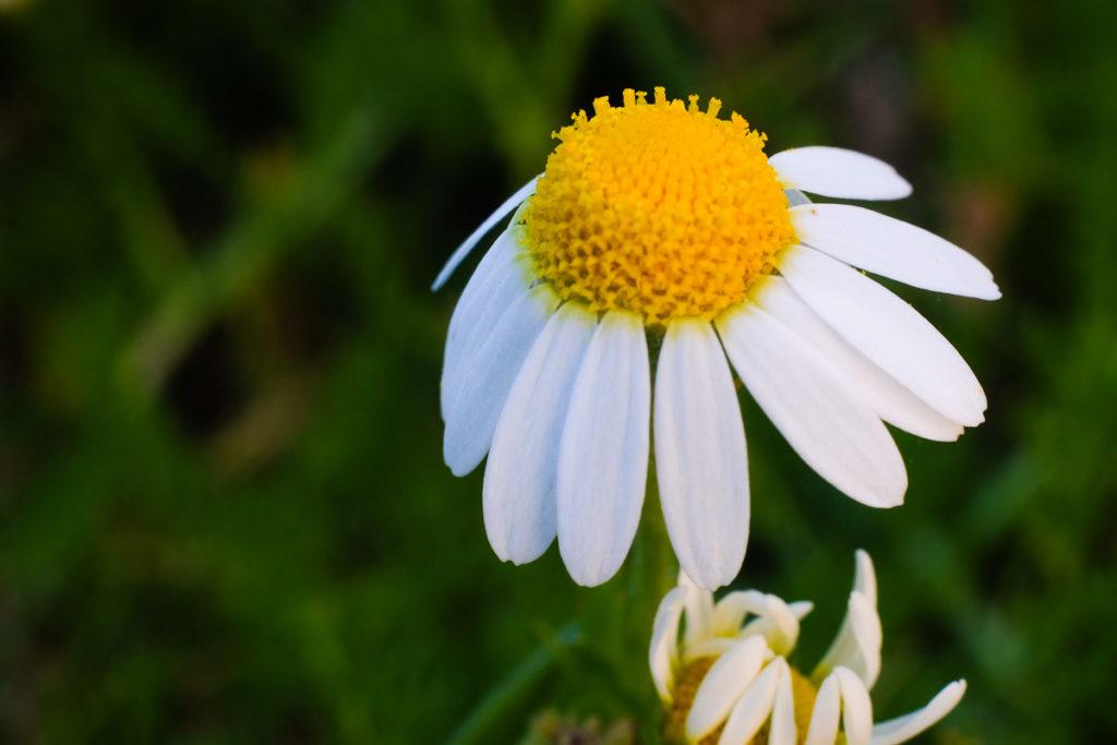 Une fleur de camomille regardant vers le ciel
