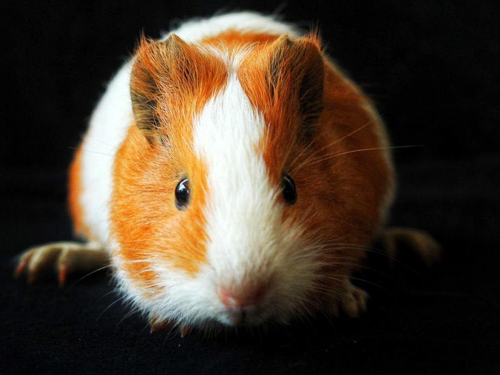 Un hamster te regarde fixement !