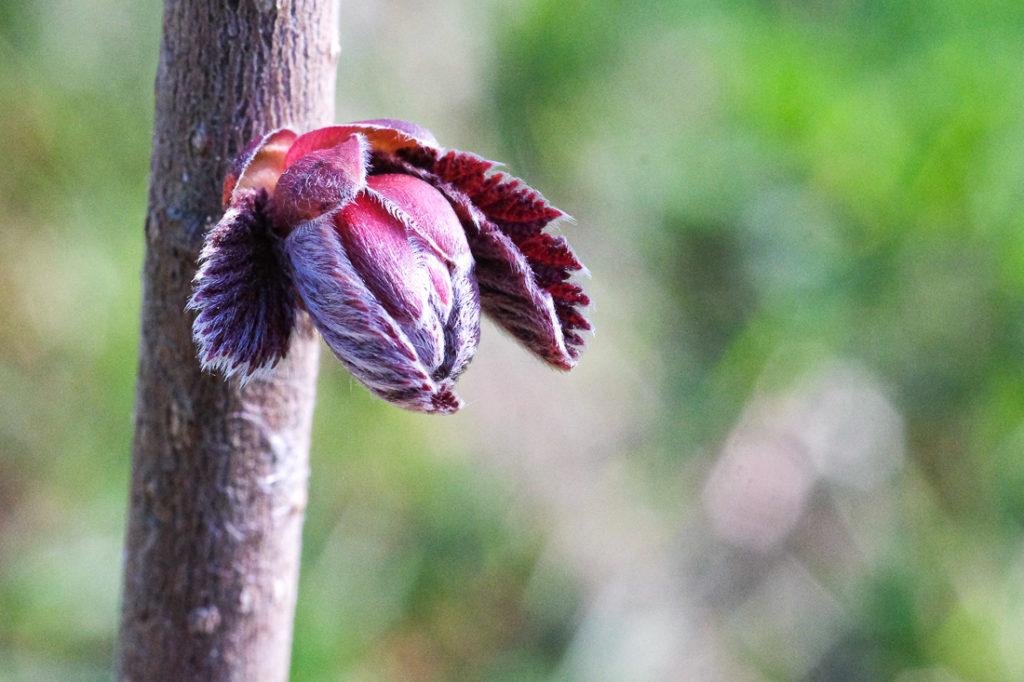 Bourgeons de noisetier prune