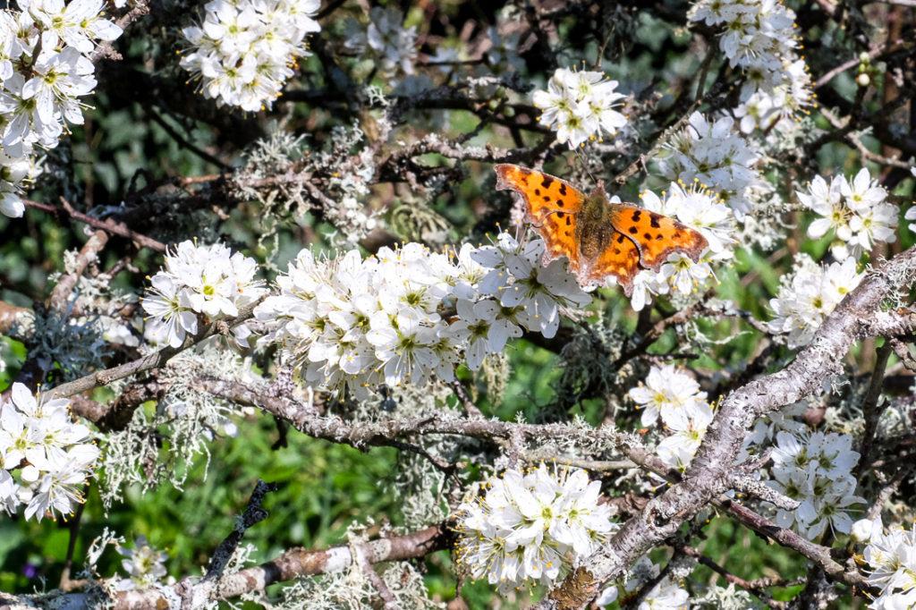 Papillon orange et fleurs de prunelier