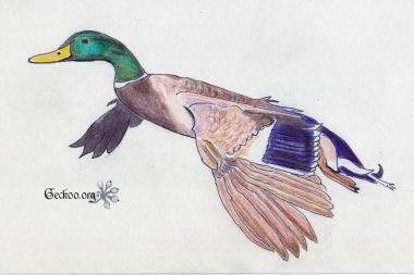 Dessin de canard colvert au feutre et crayons de couleur