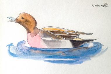 Dessin de canard siffleur au feutre et aquarelle