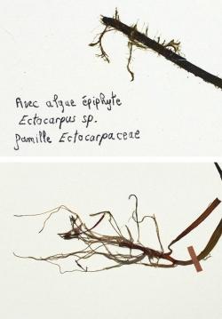Gros plan sur Ectocarpus sp.