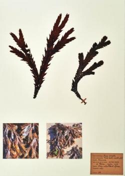 Fucus serratus