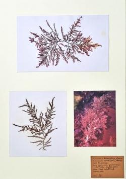 Heterosiphonia plumosa