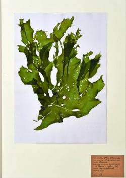Ulva armoricana