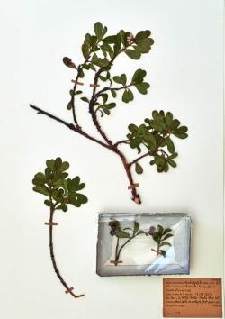 Busserole - Arctostaphylos-urva-ursi