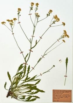 Biscutella laevigata