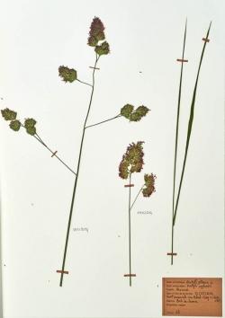 Dactylis glomera
